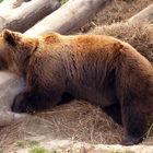 Live Bear in Bern, Switzerland